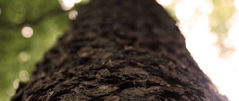 Dateilaufnahme eines Baumes - Baumgrab im Schönburger Land